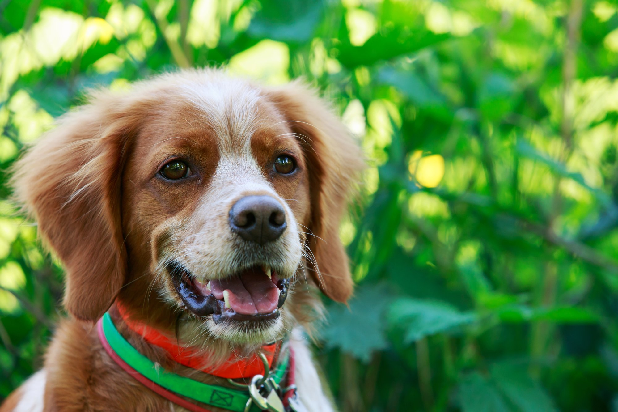 Brittany Spaniel puppy outdoors in the grass