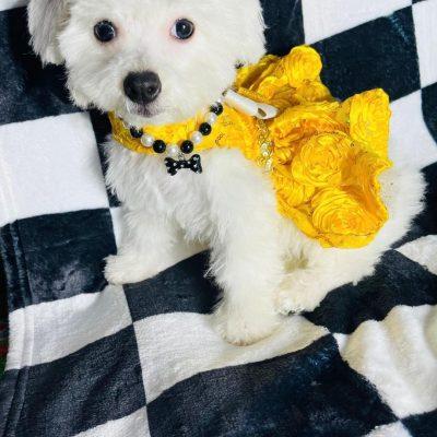 DiamondDoll, Adorable white female Maltipoo Puppy!
