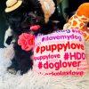 MissJuicy, Adorable Black Female Maltipoo Puppy!