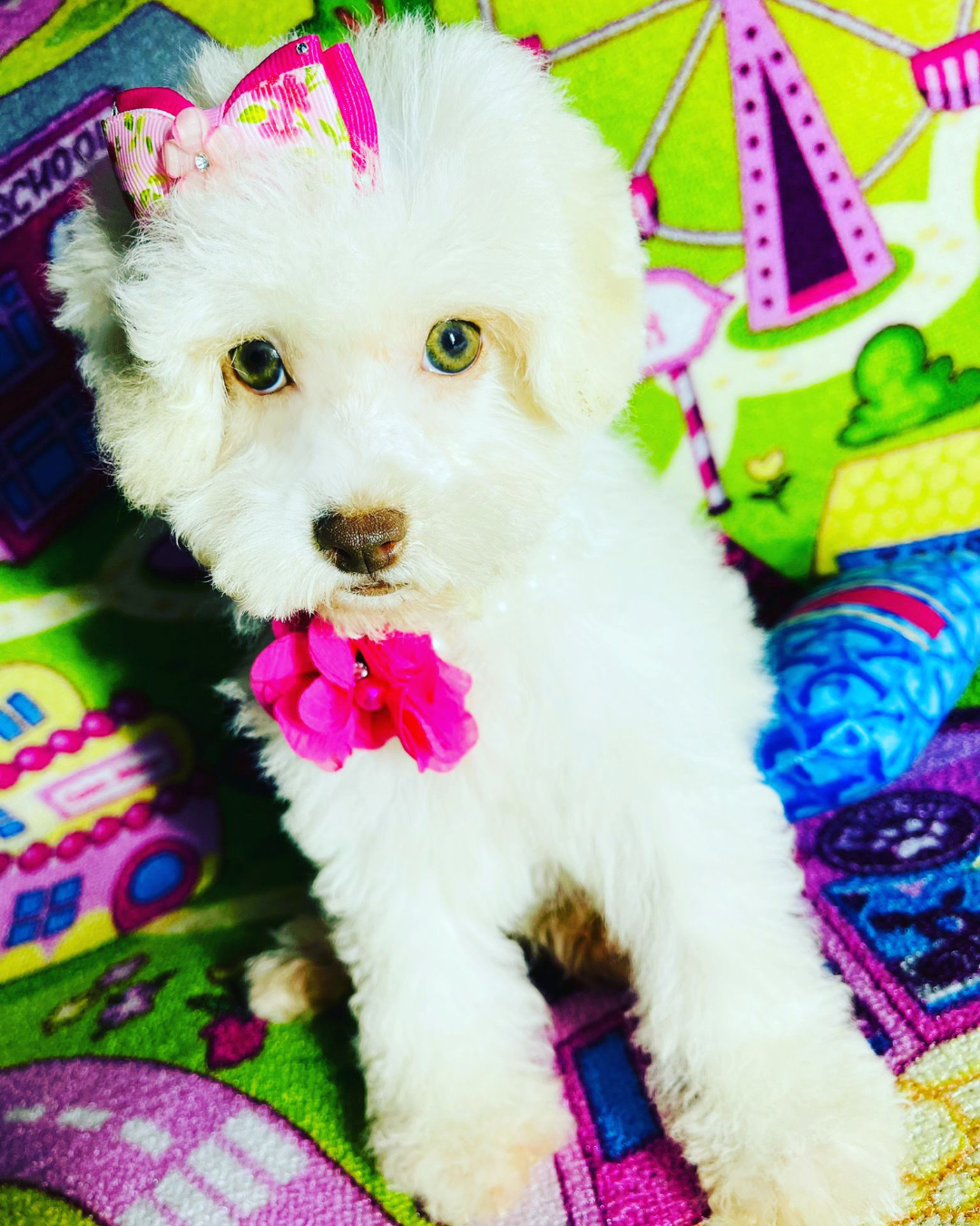 WonderGirl, Adorable White Female Maltipoo with green eyes!