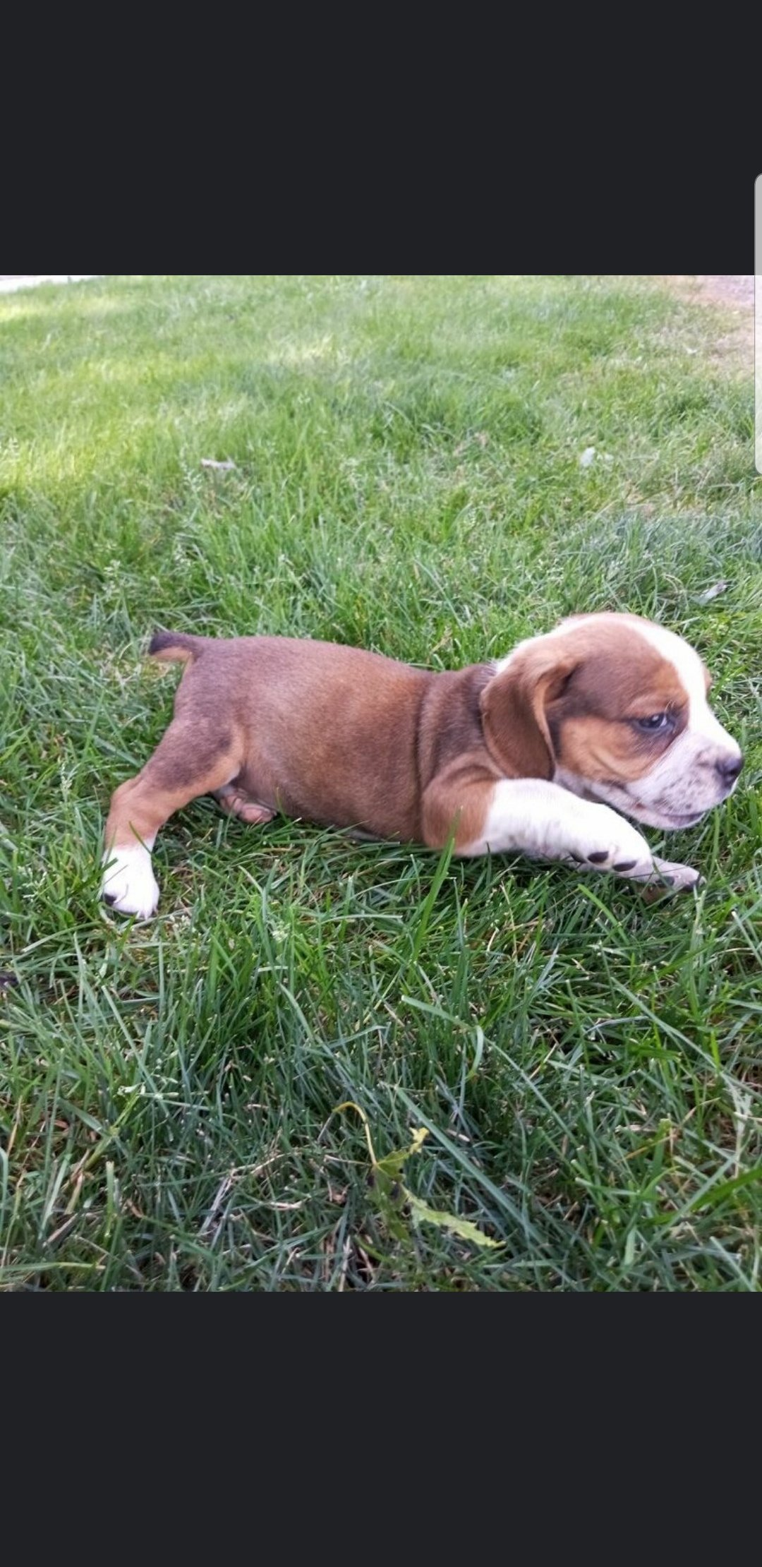 Jasper - pup Beabull male for sale near Nappanee, Indiana