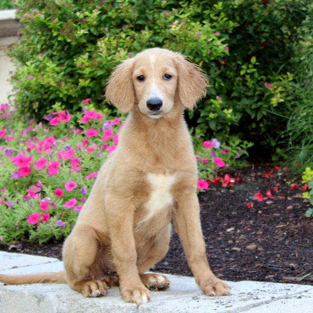 Abby - F1 Standard Goldendoodle puppie for sale near Quarryville, Pennsylvania
