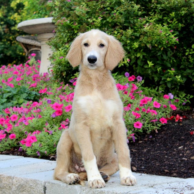 Ace - F1 Standard Goldendoodle doggie for sale in Quarryville, Pennsylvania
