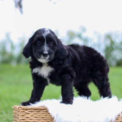 Addie - puppy F2 Mini Bernedoodle for sale in East Earl, Pennsylvania
