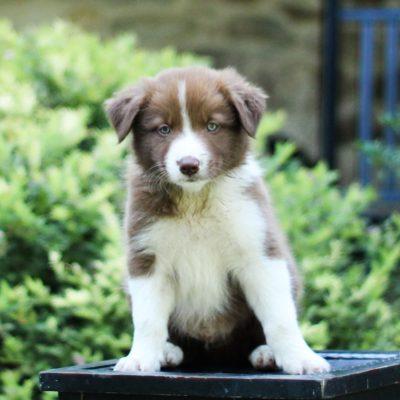 Alfie - ABCA Registrable Border Collie pupper for sale in Kinzers, Pennsylvania