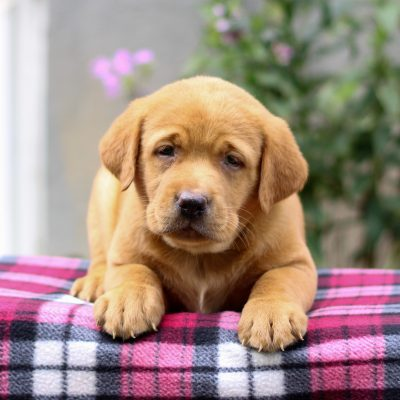 Alissa - Labrador Retriever female pup for sale at Myerstown, Pennsylvania