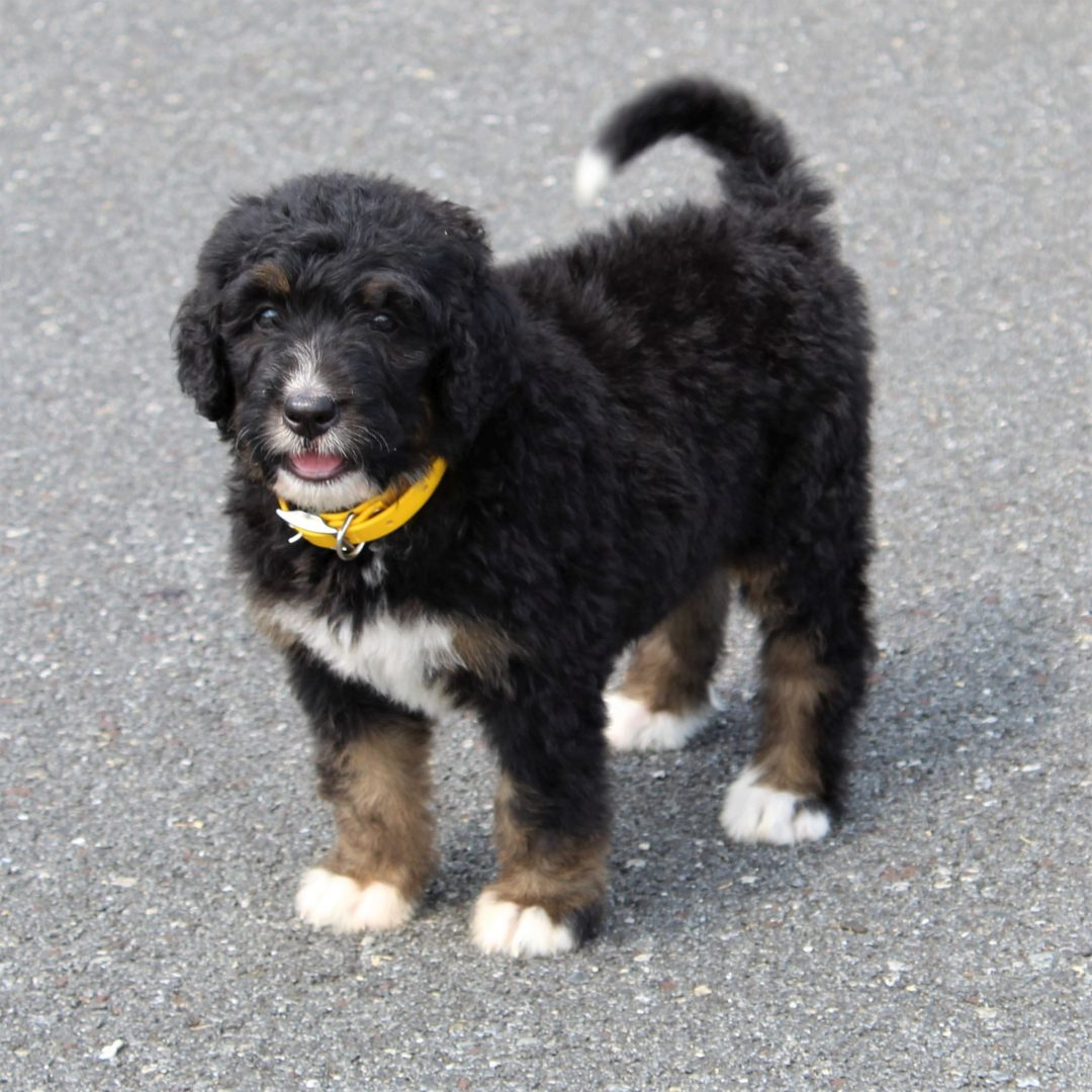 Aspen- F1 Standard Bernedoodle puppy for sale at Gap, Pennsylvania