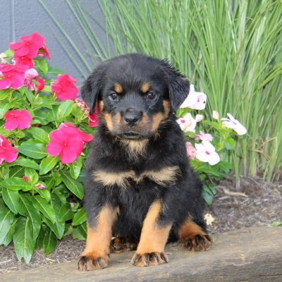 Bella - AKC Rottweiler pup for sale at Christiana, Pennsylvania