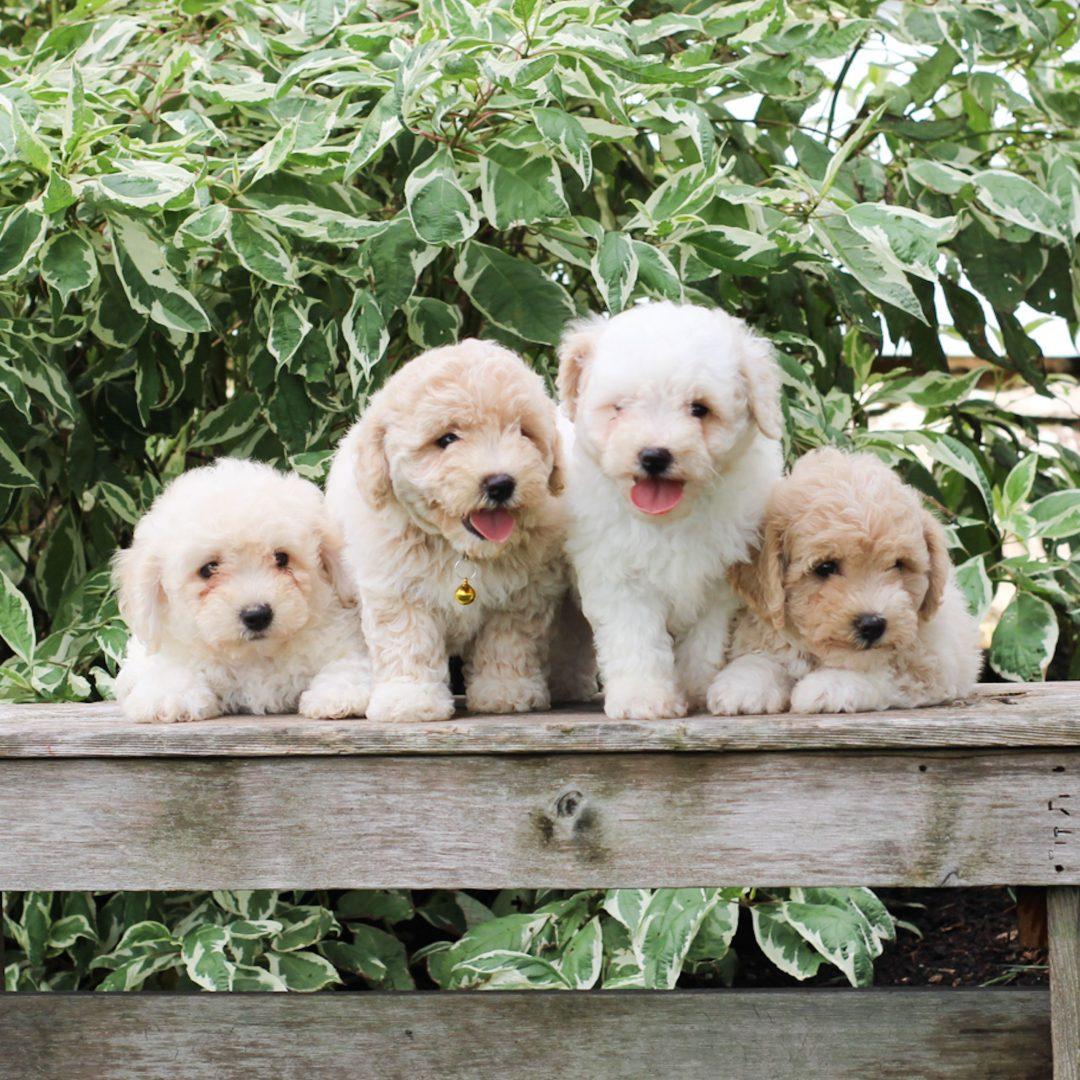 Yuri - F1 Bichpoo puppie for sale near Morgantown, Pennsylvania