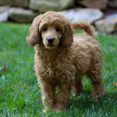 Blessing - puppie Mini Labradoodle for sale at Coatesville, Pennsylvania