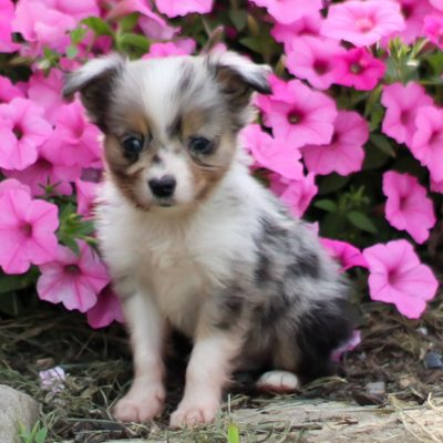 Blu Boy - ACA Mini Australian Shepherd doggie for sale in Strasburg, Pennsylvania