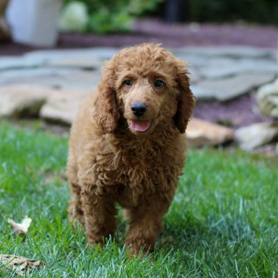 Boden - Mini Labradoodle puppy for sale in Coatesville, Pennsylvania