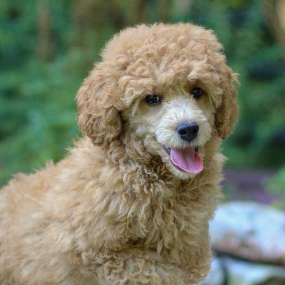 Boston - Mini Labradoodle pup for sale at Coatesville, Pennsylvania