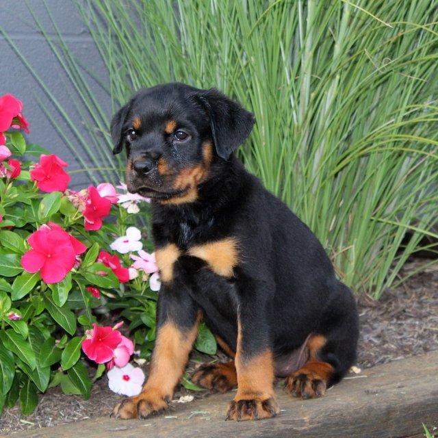 Brandi. - AKC Rottweiler pupper for sale near Christiana, Pennsylvania