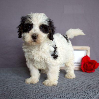 Bruce - F2b Mini Bernedoodle doggie for sale near Sunbury, Pennsylvania