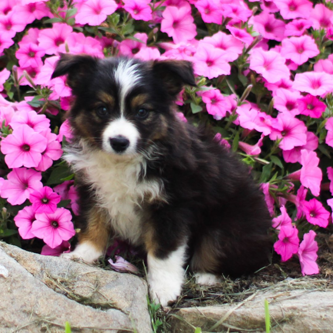 Buddy - ACA Mini Australian Shepherd puppie for sale near Strasburg, Pennsylvania