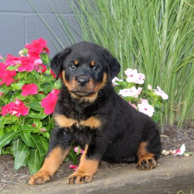 Chelsie - AKC Rottweiler puppy for sale in Christiana, Pennsylvania