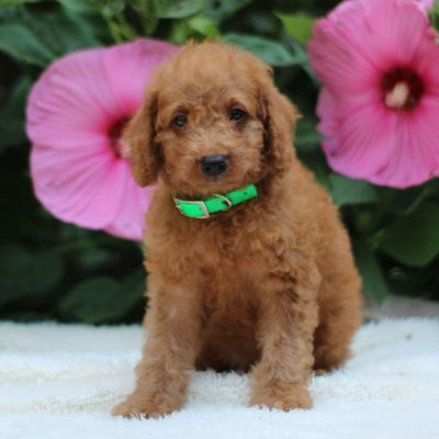 Coco - F1b Mini Labradoodle pup for sale in Bird-in-Hand, Pennsylvania