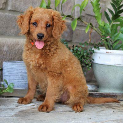 Cooper - Cavapoo male pup for sale in Gap, Pennsylvania