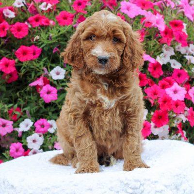 Dahlia- F1 Standard Irish Doodle female puppie for sale in Honey Brook, Pennsylvania