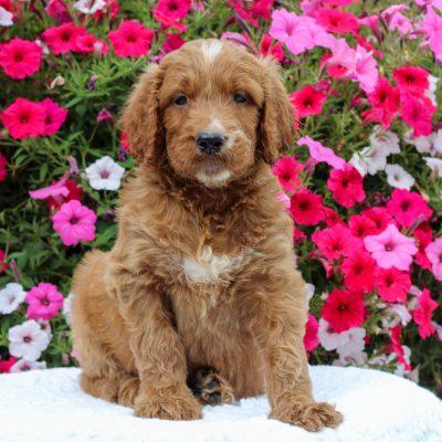 Denver - F1 Standard Irish Doodle puppy for sale in Honey Brook, Pennsylvania