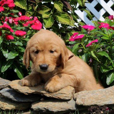 Derek - AKC Golden Retriever doggie for sale near Christiana, Pennsylvania
