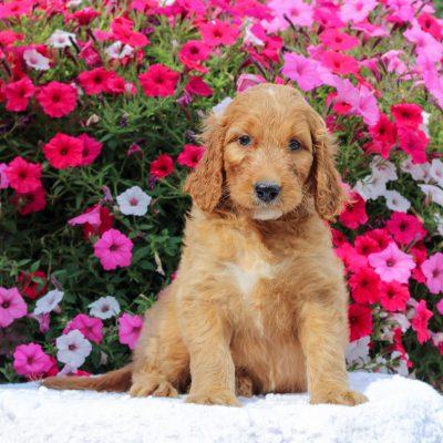 Diane - F1 Standard Irish Doodle female doggie for sale at Honey Brook, Pennsylvania