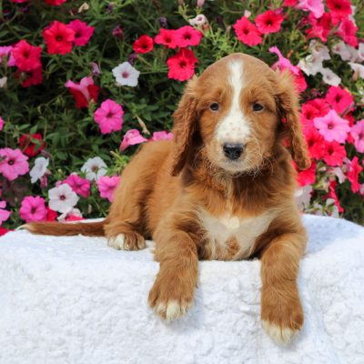 Dorie - female F1 Standard Irish Doodle pup for sale near Honey Brook, Pennsylvania