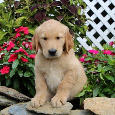 Duffy - AKC Golden Retriever puppy for sale in Christiana, Pennsylvania