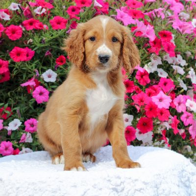 Duncan - F1 Standard Irish Doodle doggie for sale near Honey Brook, Pennsylvania