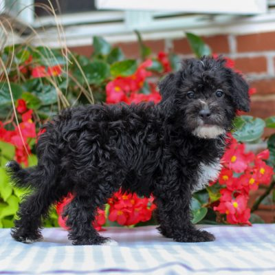 Eddie - F1 Maltipoo puppie for sale in Gordonville, Pennsylvania