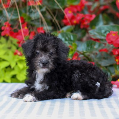 Elise - F1 Maltipoo pup for sale at Gordonville, Pennsylvania
