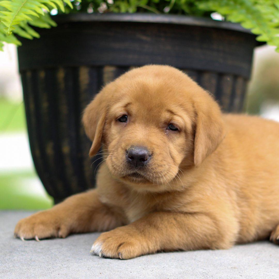 Everet - AKC Fox Red Labrador Retreiver pupper for sale at Bird-in-Hand, Pennsylvania