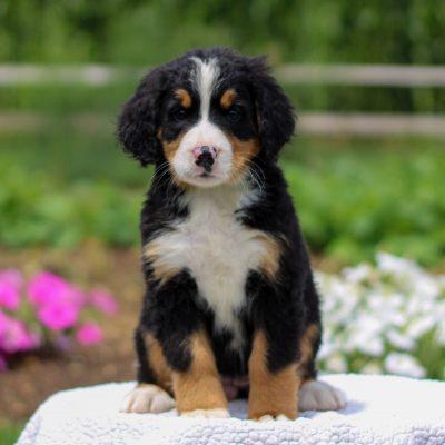 Gloria - female AKC Bernese Mountain Dog pup for sale in Bird-in-Hand, Pennsylvania