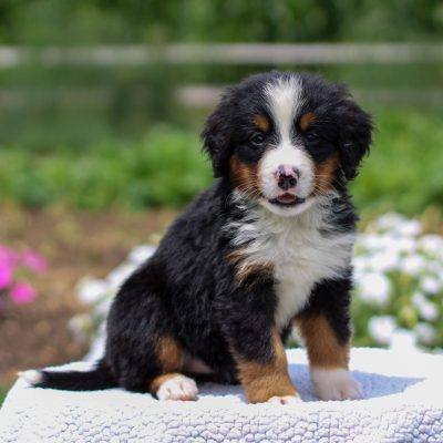 Grace - AKC Bernese Mountain Dog female puppy for sale at Bird-in-Hand, Pennsylvania