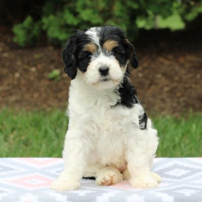 Hailey - F1 Cavachon puppy for sale in Gap, Pennsylvania