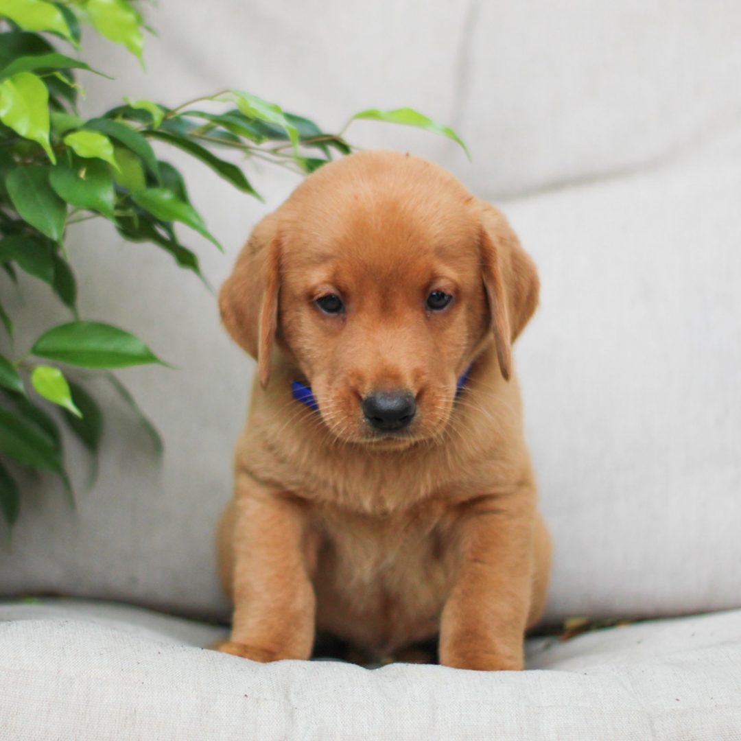 Handsome - AKC Fox Red labrador Retreiver pupper for sale near Bird-in-Hand, Pennsylvania