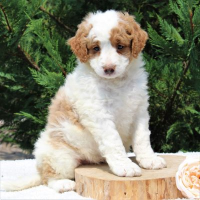 Katie - Bernedoodle female pupper for sale in Narvon, Pennsylvania