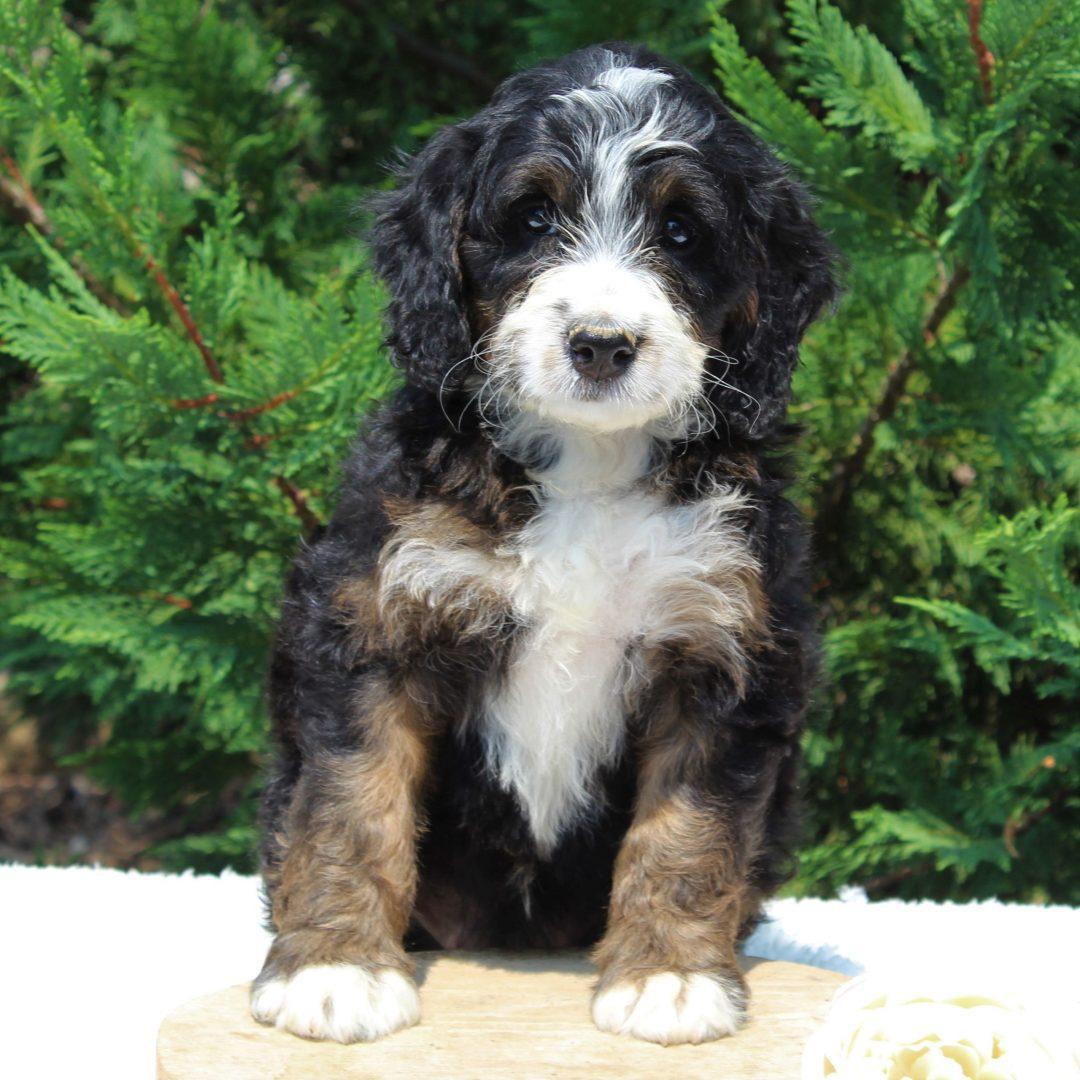 Kelsey - Bernedoodle male doggie for sale at Narvon, Pennsylvania