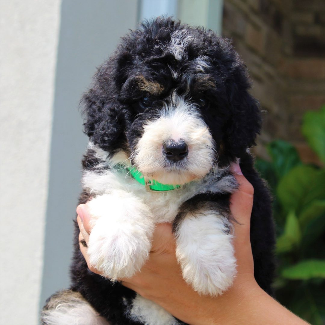 Kisha - F1 Standard Bernedoodle puppy for sale at Gap, Pennsylvania