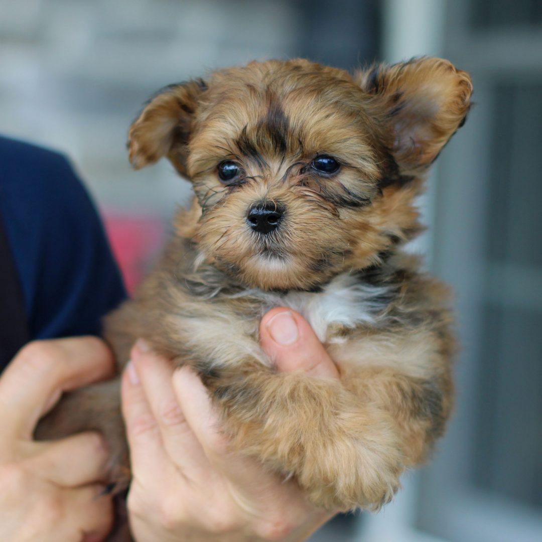 Kylan- F1 Yorkichon pup for sale near Gordonville, Pennsylvania