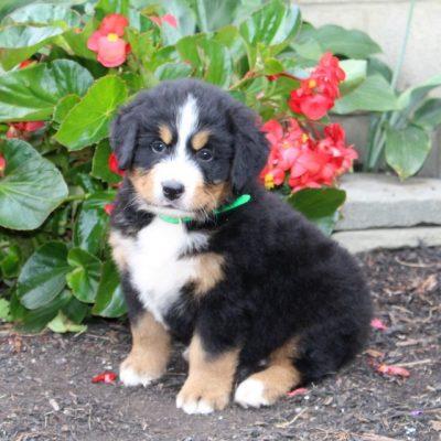 Marz - AKC Bernese Mountain Dog pup for sale in Cochranville, Pennsylvania