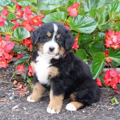 Millie - doggie AKC Bernese Mountain Dog for sale at Cochranville, Pennsylvania
