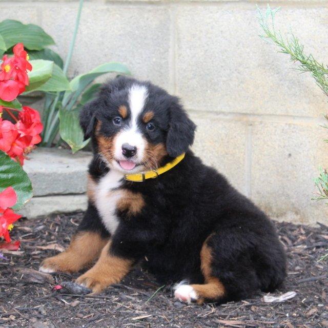 Molly - AKC Bernese Mountain Dog puppy for sale near Cochranville, Pennsylvania
