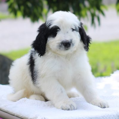 Packer - Mini Bernedoodle doggie for sale at East Earl, Pennsylvania
