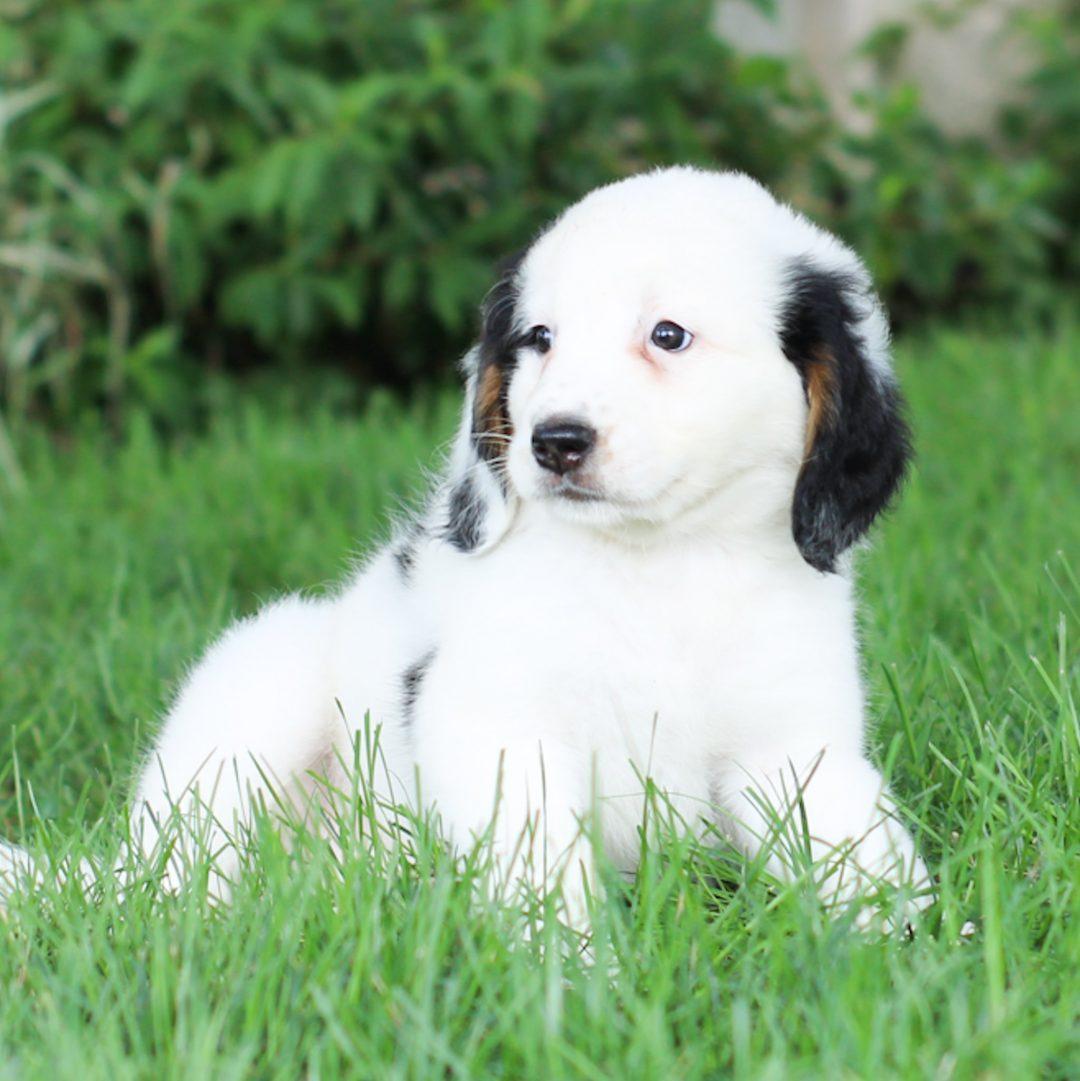 Pansy - Mini Bernedoodle pupper for sale near East Earl, Pennsylvania