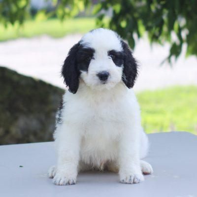 Paul - Mini Bernedoodle puppy for sale near East Earl, Pennsylvania