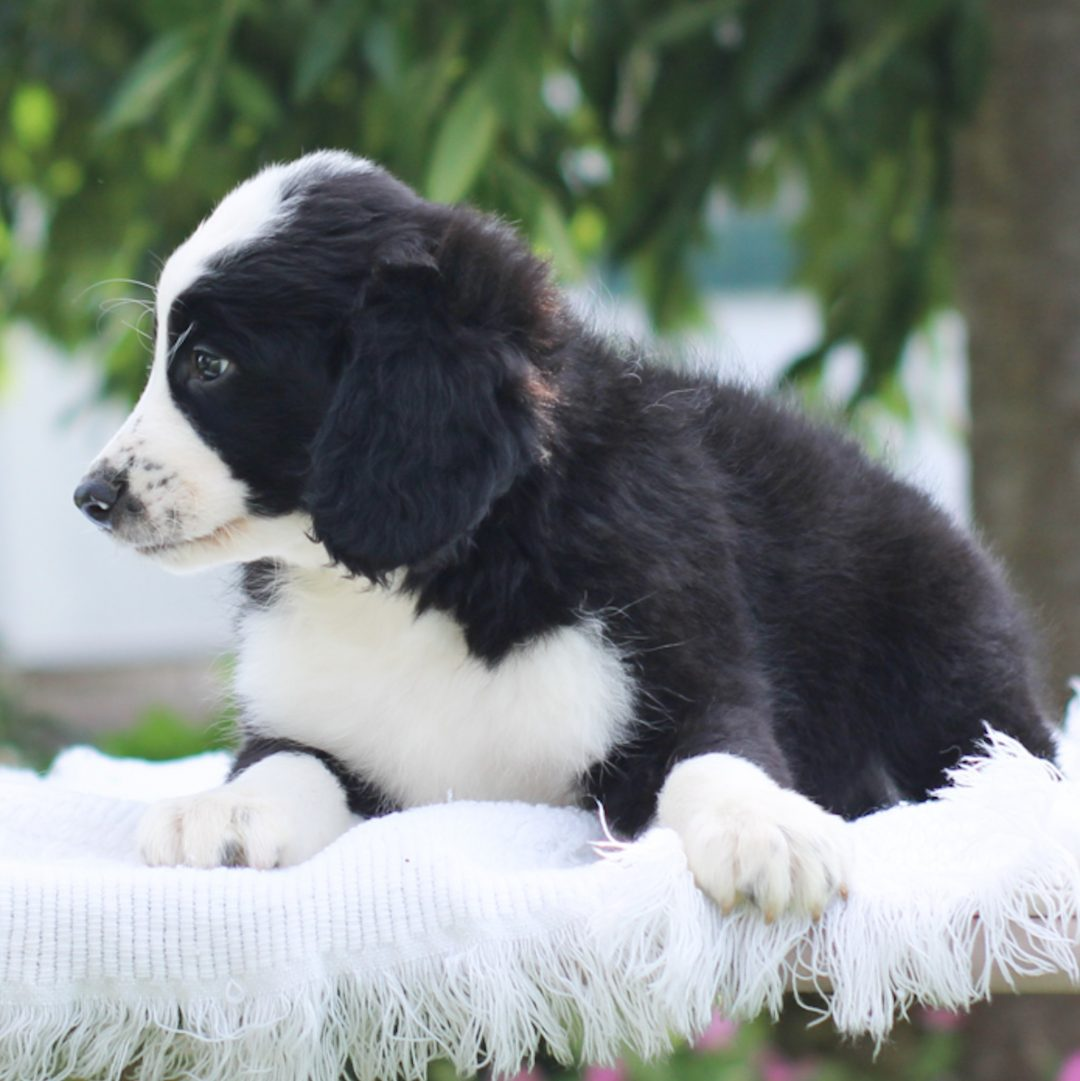 Pepper - Mini Bernedoodle puppy for sale at East Earl, Pennsylvania