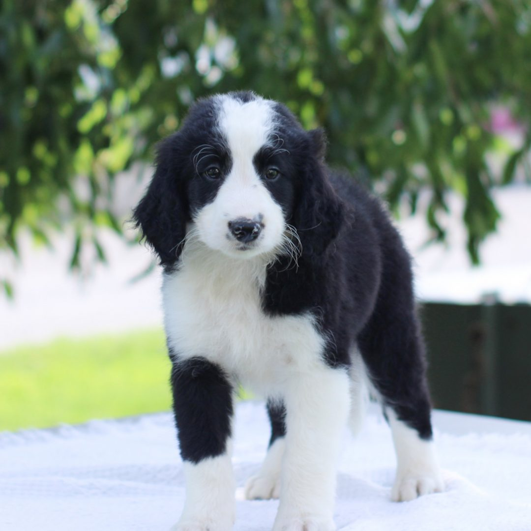 Percy - Mini Bernedoodle pup for sale near East Earl, Pennsylvania