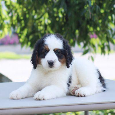Preston - Mini Bernedoodle puppie for sale at East Earl, Pennsylvania